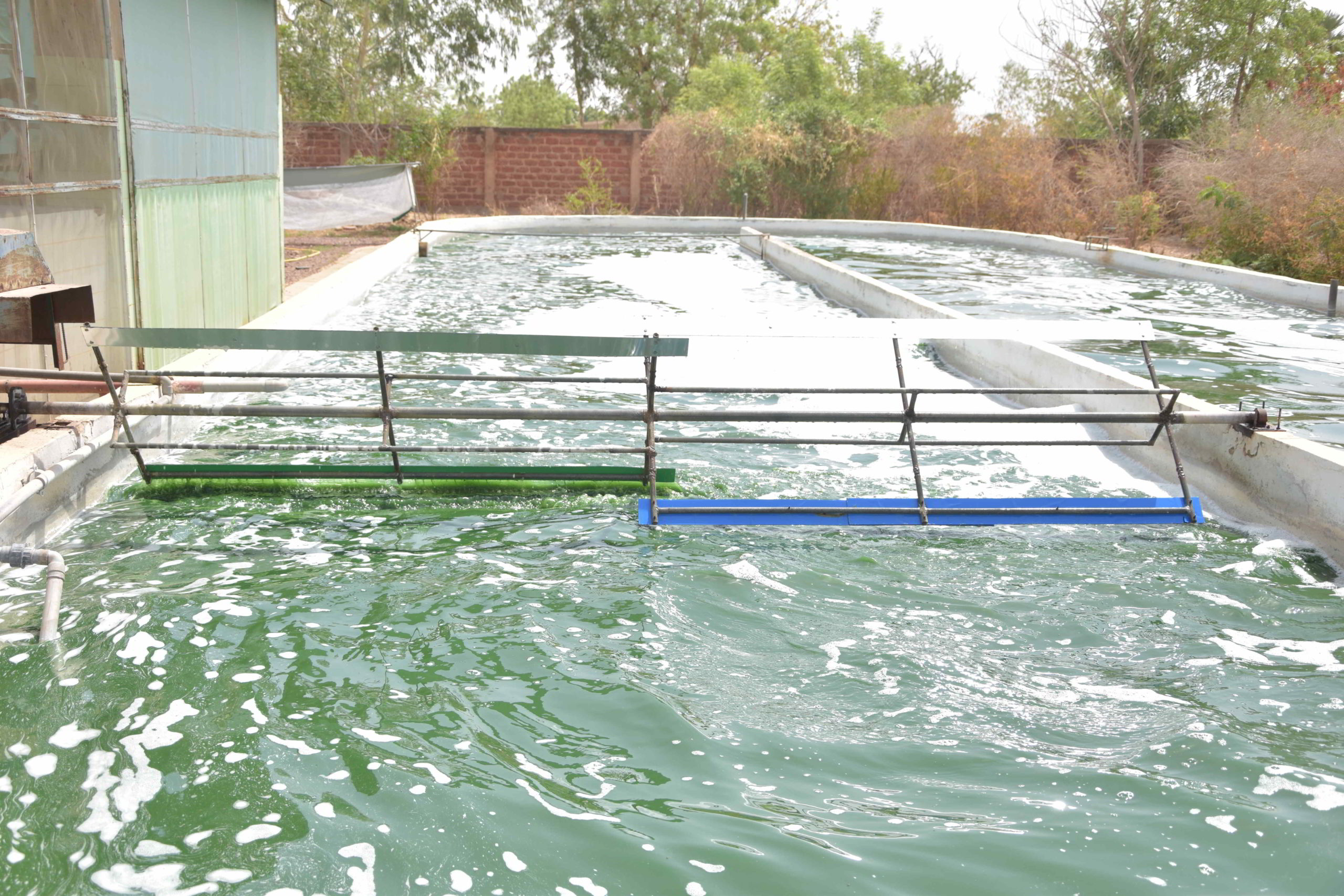 Bassin à spiruline
